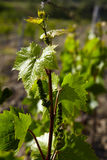 Grap vine with young leavs Stock Images