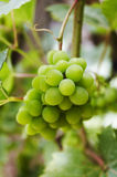 Grape. Close-up Stock Photos