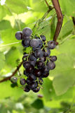 Grape. Ripe grapes disappears in leaves Stock Image