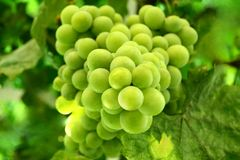 Grape. Green grapes on the branch Royalty Free Stock Images