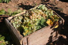 Grape. A bond, Turkey, Mature grapes and harvest time Stock Photo