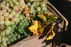Grape. A bond, Turkey, Mature grapes and harvest time Royalty Free Stock Images