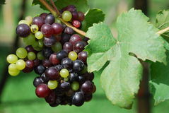 Free Grape Stock Photos - 11932833