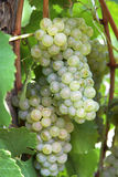 Grape 14. Royalty Free Stock Photography