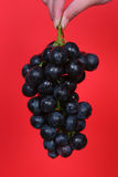 Grape. A hand holding dark grape Royalty Free Stock Photography