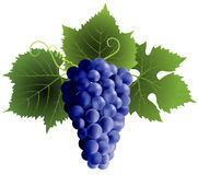 Grape. Bunch of grape and green leaves Royalty Free Stock Image