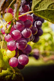 Grape. Red grape fruit on green background Stock Photo