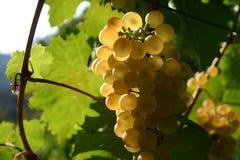 Grape. From wine, vermentino, Italian Stock Photo
