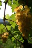 Grape. From wine, vermentino, Italian Royalty Free Stock Photos
