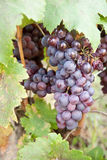 Grape. A bunch of grapes on a wine Royalty Free Stock Photo