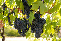 Grape 2 Stock Photos