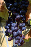 Grape. In croatian vineyard Royalty Free Stock Image