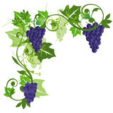 Grape. S and leaves background illustration Royalty Free Stock Photos