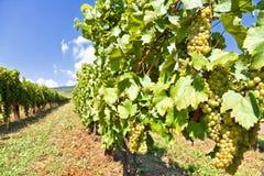 Grape. S growing in Tokaj. Hungary Royalty Free Stock Photo