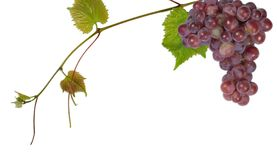 Grape. Pink grape on a white background royalty free stock image