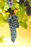 Grape. A bunch of grape closeup in vineyard Stock Photography