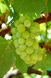 Grape. A little green grape and leaves Stock Photography