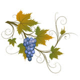 Grape. Blue grape, vector stylized illustration Stock Photo