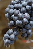 Grape. Close-up dark blue grape on the muddy background Royalty Free Stock Images