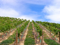 Grape. Orchard In New Zealand Royalty Free Stock Images