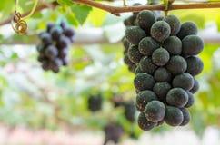Grape. Black grape in the garden Stock Photo