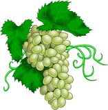 Grape. Vector illustration of grape fruit Royalty Free Stock Photo