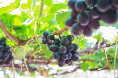Free Grape Stock Photo - 49022720