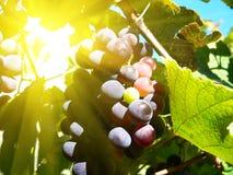 Grape. Mellow dark grape in the sunshine Stock Photography