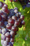 Grape. Red grape on background sheet Royalty Free Stock Photos