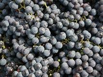 Grape. Close-ups of fresh grapes. Natural source of vitamins Royalty Free Stock Photo