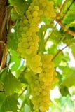 grape Στοκ εικόνες με δικαίωμα ελεύθερης χρήσης