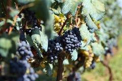 The grape. The Croatian grape, very sweet Stock Photo