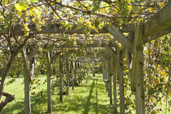 Grape Arbor. Grapes on the vine growing on an arbor Stock Photography