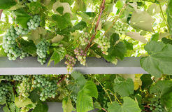 Grape Arbor from Below Stock Photography