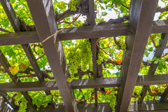 Grape Arbor Stock Photography