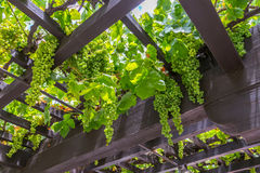 Grape Arbor Royalty Free Stock Image