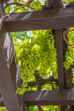 Grape Arbor Royalty Free Stock Images