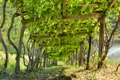 Grape arbor. Wooden grape arbor supporting vines heavy with green grapes, view from below, mountain vineyard Royalty Free Stock Photography