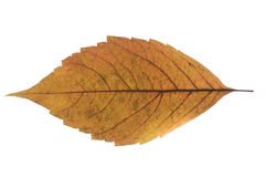 Grape autumn leaf Royalty Free Stock Photo