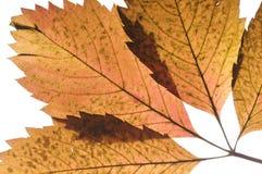 Grape autumn leaf Stock Photo