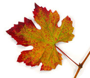 Grape autumn leave. The leave of a grape with red green yellow colors Royalty Free Stock Photo