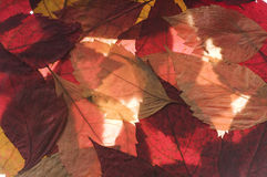 Grape autumn leaves Stock Photo