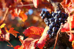 Grape in autumn. Red colored wineyard in autumn Stock Images