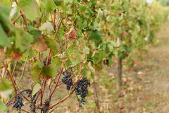 Grape at Autumn. Vinery at autumn with dry leaves and grape Stock Photography