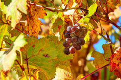 Grape among autumnal leaves in Italy. Royalty Free Stock Photos