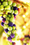 Grape background Stock Image