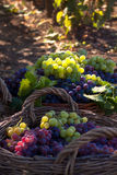 Grape baskets. Two baskets of red and white grapes freshly harvested in vinyard Stock Photos