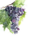 Grape black grapes on vine watercolor painting illustration isolated on white background Stock Photo