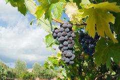 Grape of black vine Stock Photo