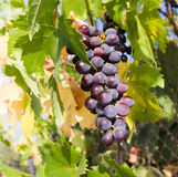 Grape of black vine Stock Photos